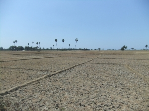 Padi fields at the end of the dry season