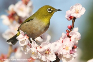 Japanese white-eye Zosterops japonicus メジロ Mejiro
