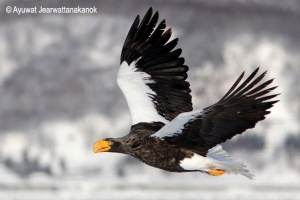 Steller's sea eagle Haliaeetus pelagicus オワシ Owashi