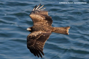 Black kite Milvus migrans トビ Tobi