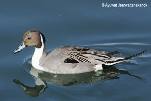 Northern pintail Anas acuta オナガガモ Onaga gamo