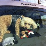 My mom's poodle, Mitzi, loves to crawl around on the dashboard of the camper van!
