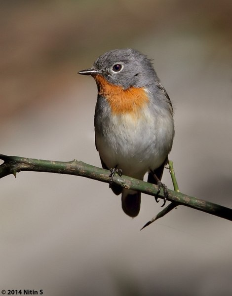 http://orientalbirdimages.org/search.php?p=28&Bird_ID=2689&Bird_Family_ID=&pagesize=1
