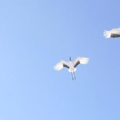 Cranes in flight - so graceful.