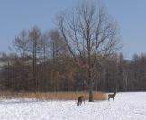 Sika deer - Cervus nippon
