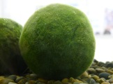 An algae ball from Akan Lake. Found only in that lake north of Kushiro.