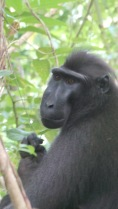 Endemic black-crested macaque